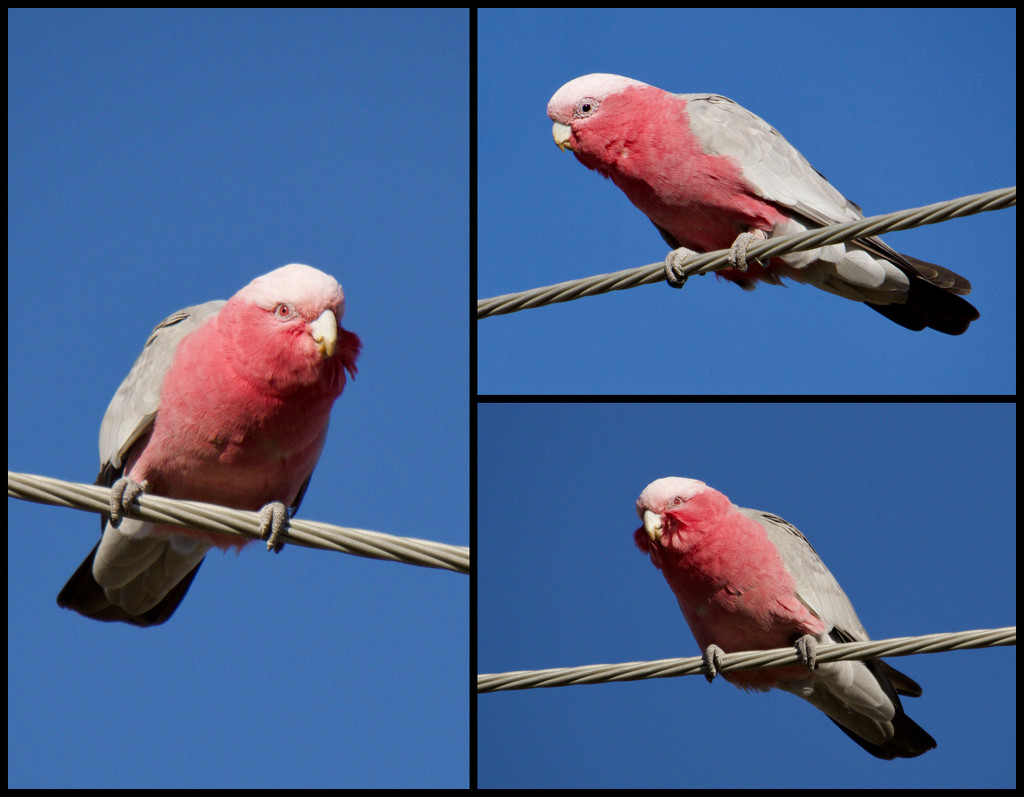 Galahs On A Wire by merrelyn