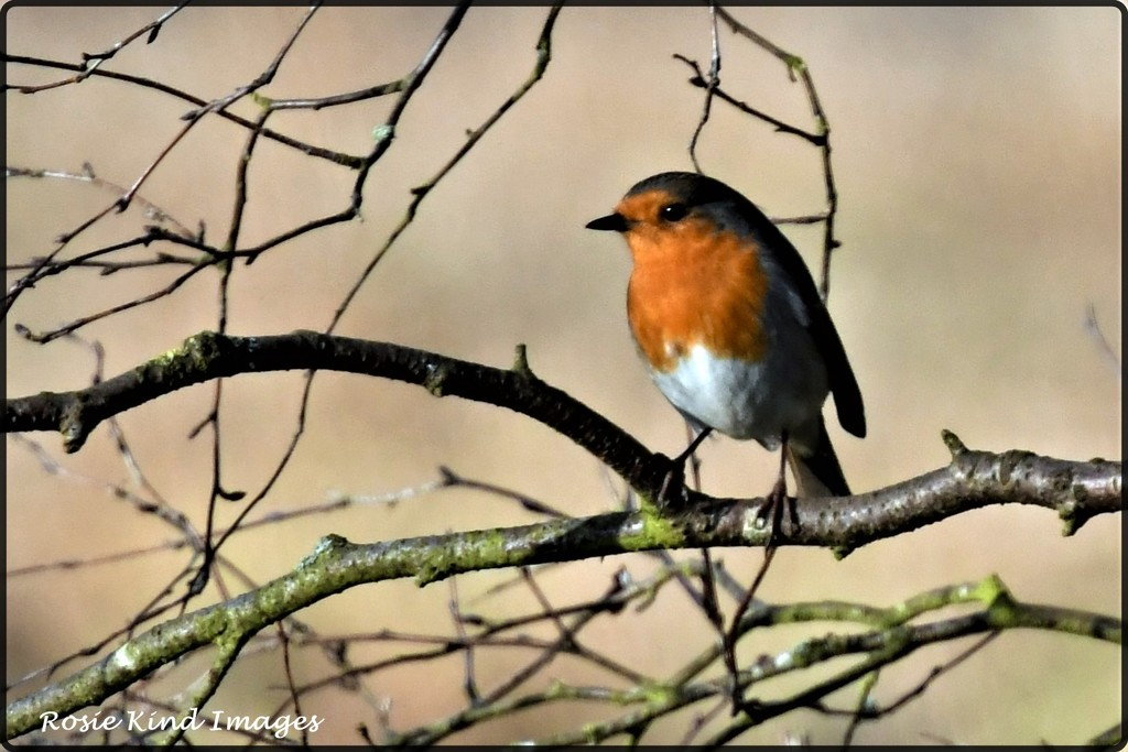 Another robin by rosiekind