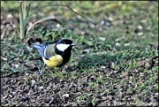9th Feb 2020 - Another great tit