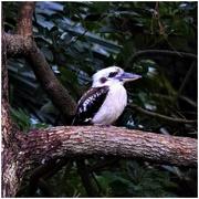 10th Feb 2020 - Kookaburra Sits In The Old Gum Tree ~