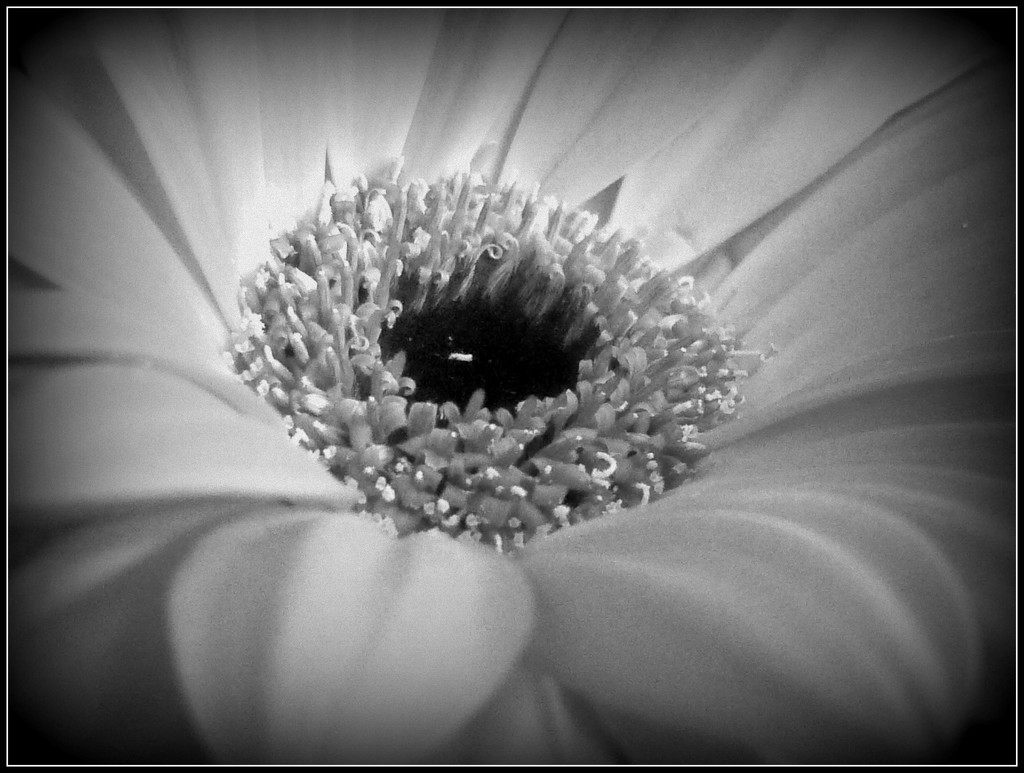 Gerbera  by countrylassie