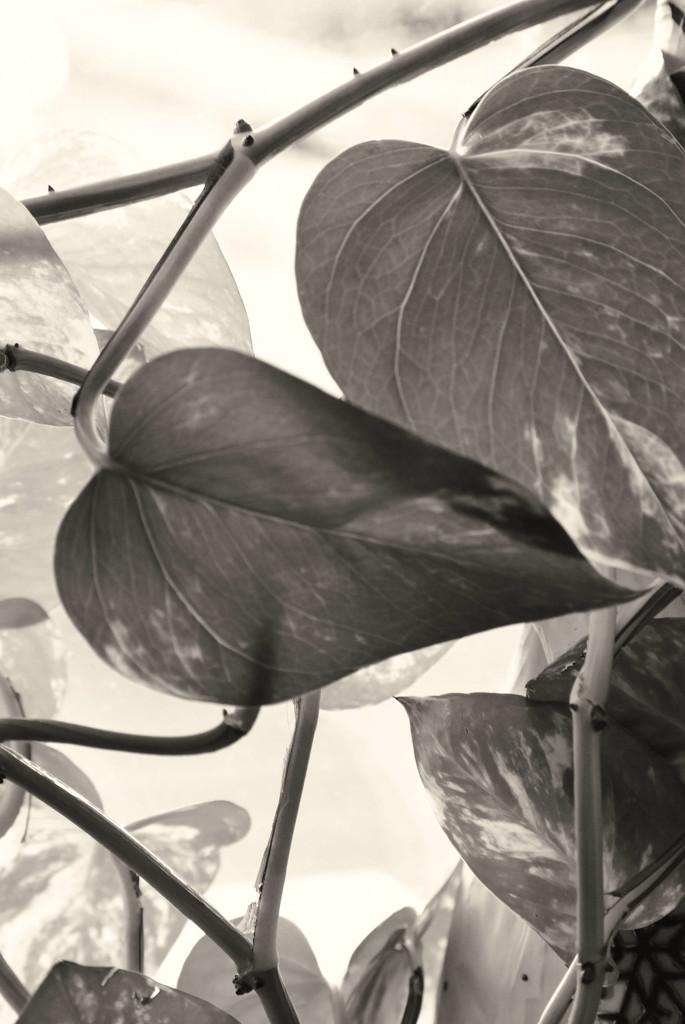 Philodendren by bjywamer
