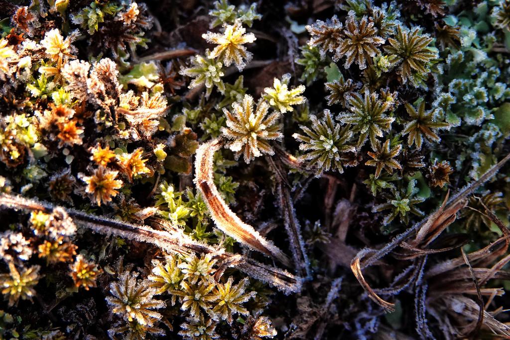 Frosty Flowers by milaniet