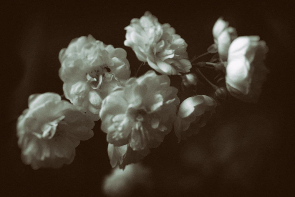 rosy by kali66