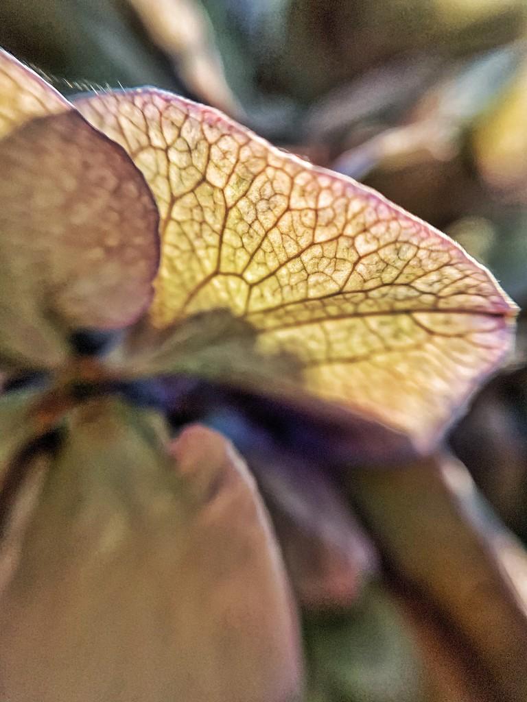 Hydrangea macro. by cocobella