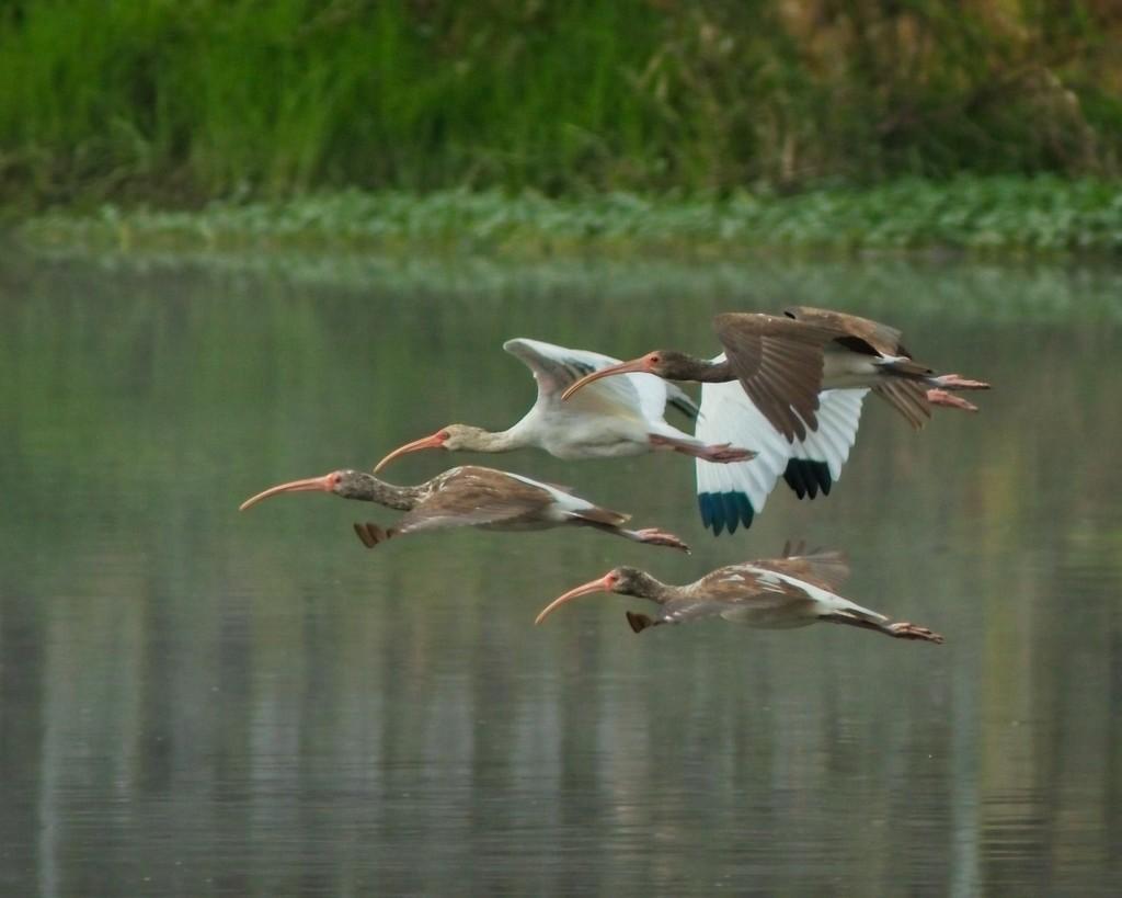 LHG_ 0201- Ibis in flight by rontu