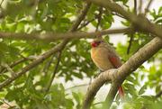 9th Feb 2020 - Cardinal