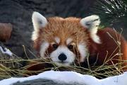 31st Jan 2020 - Leo The Red Panda