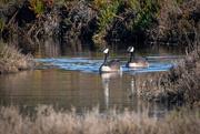 9th Feb 2020 - Canada Geese
