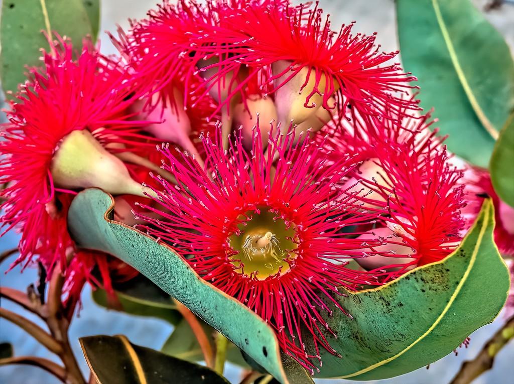 Gum tree flowers  by ludwigsdiana
