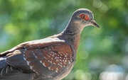 10th Feb 2020 - Speckled Pigeon