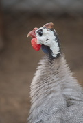 10th Feb 2020 - February Series - A month of Guinea Fowl (10)