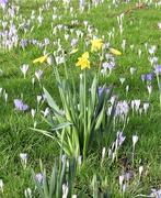 8th Feb 2020 - Daffodils and Crocuses
