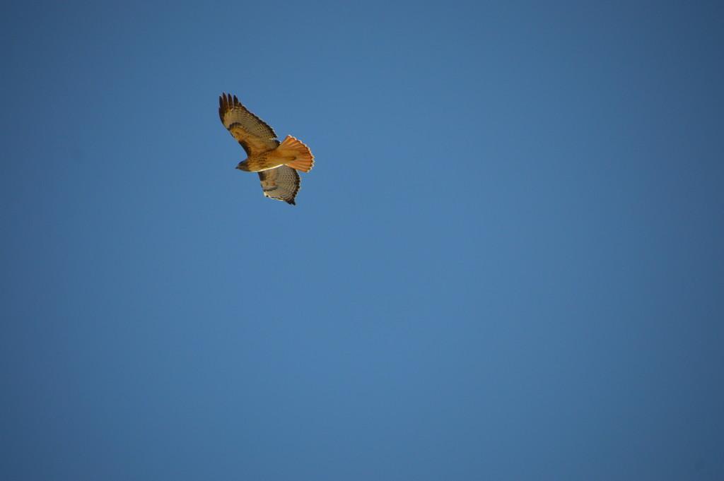 Hawk by bigdad