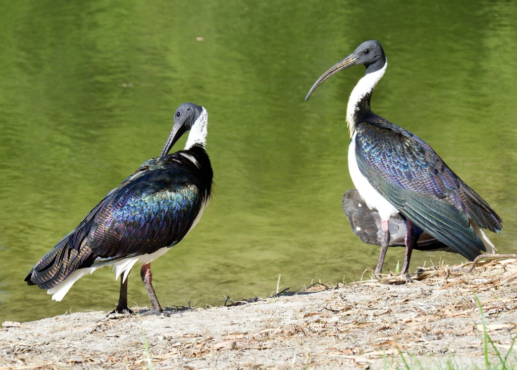 Straw Necked Ibis P2101612 by merrelyn