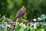 9th Feb 2020 - Female cardinal