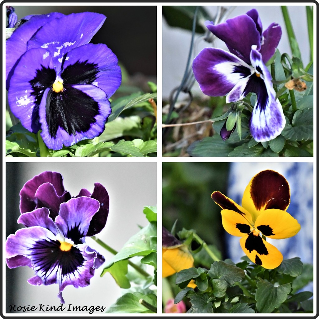 Pansies have survived the storm by rosiekind