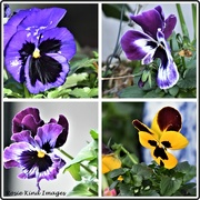 10th Feb 2020 - Pansies have survived the storm