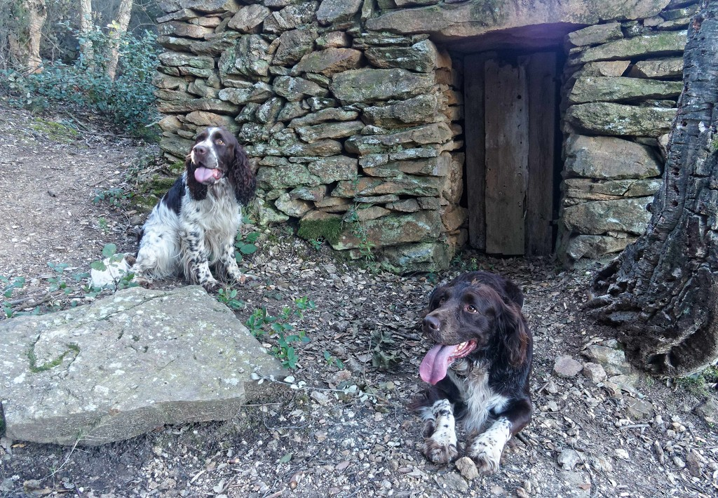 Two springers by laroque