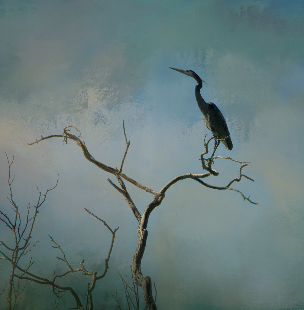 Young Heron  by samae