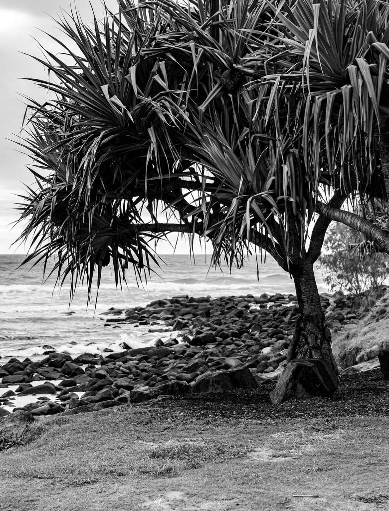 Pandanus palm tree by sugarmuser
