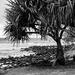Pandanus palm tree