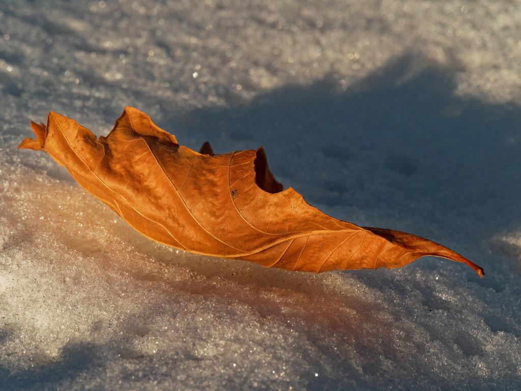 oak leaf by rminer