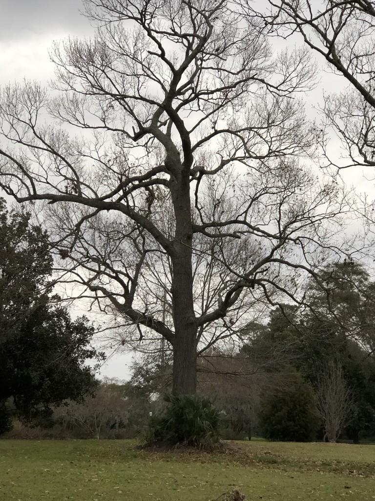 Winter oak tree by congaree