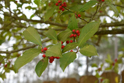9th Feb 2020 - Holly and Bokeh