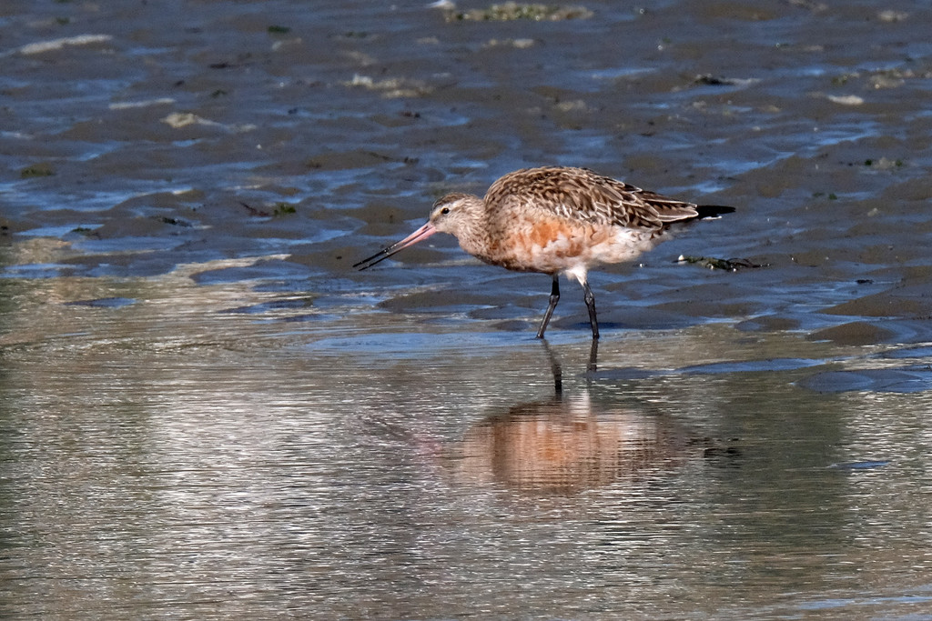 Eastern bartailed godwit feeding after high tide by maureenpp