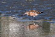 11th Feb 2020 - Eastern bartailed godwit feeding after high tide