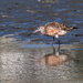 Eastern bartailed godwit feeding after high tide