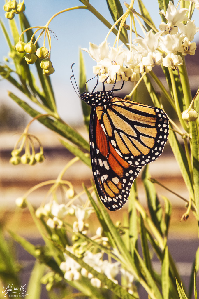 Monarch Butterfly by yorkshirekiwi