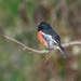 Scarlet robin by gosia