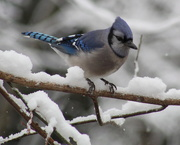 7th Feb 2020 - A Blue Jay Visiting