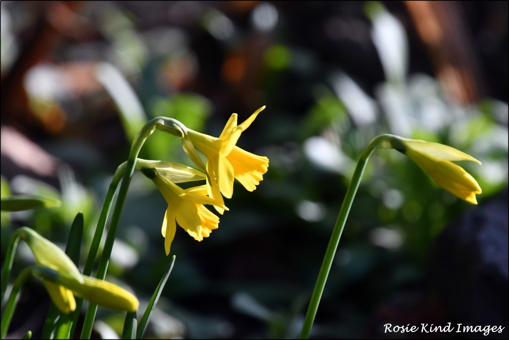 Daffodils in the sunshine by rosiekind