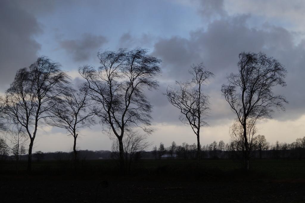 wind swept trees by gijsje