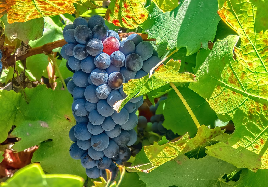 Grapes waiting to be harvested by ludwigsdiana