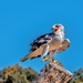 Black shouldered Kite  by ludwigsdiana