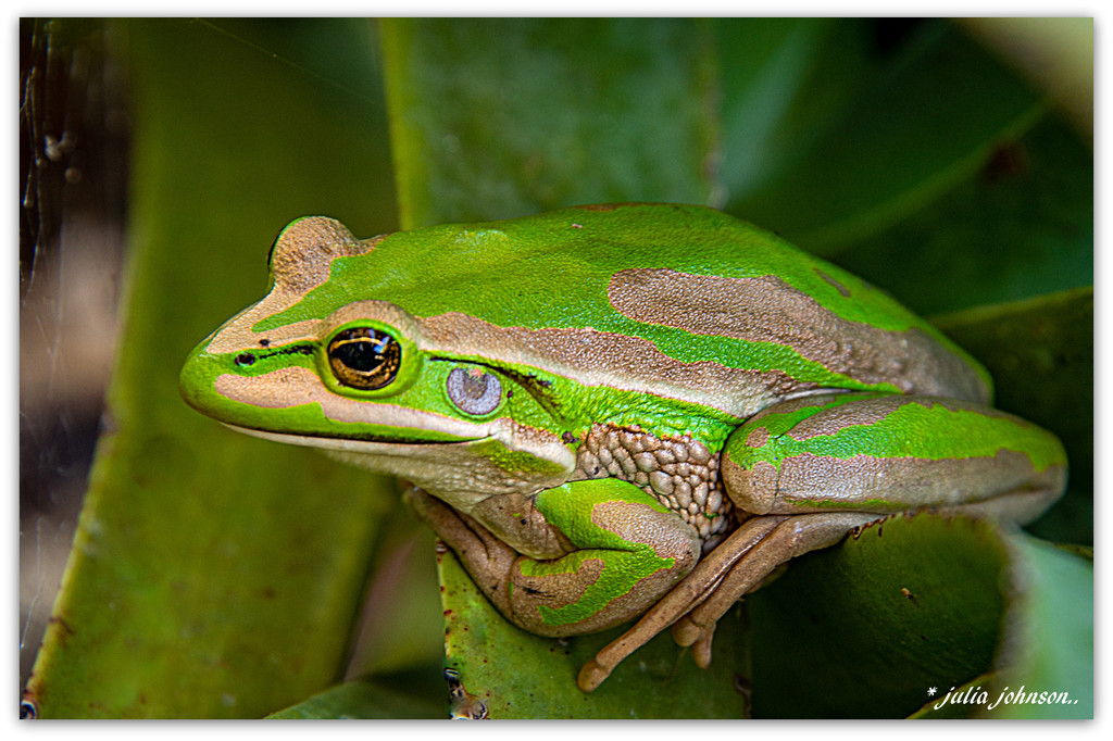 Green Bell Frog... by julzmaioro