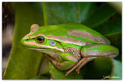 12th Feb 2020 - Green Bell Frog...