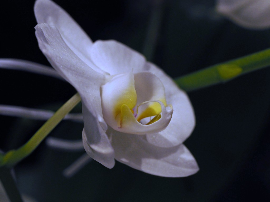 just a little orchid. by janemartin