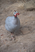 12th Feb 2020 - February Series - A month of Guinea Fowl (12)