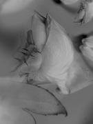 12th Feb 2020 - Rose and petals...........