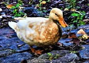 13th Feb 2020 - Buff Orpington Duck ~