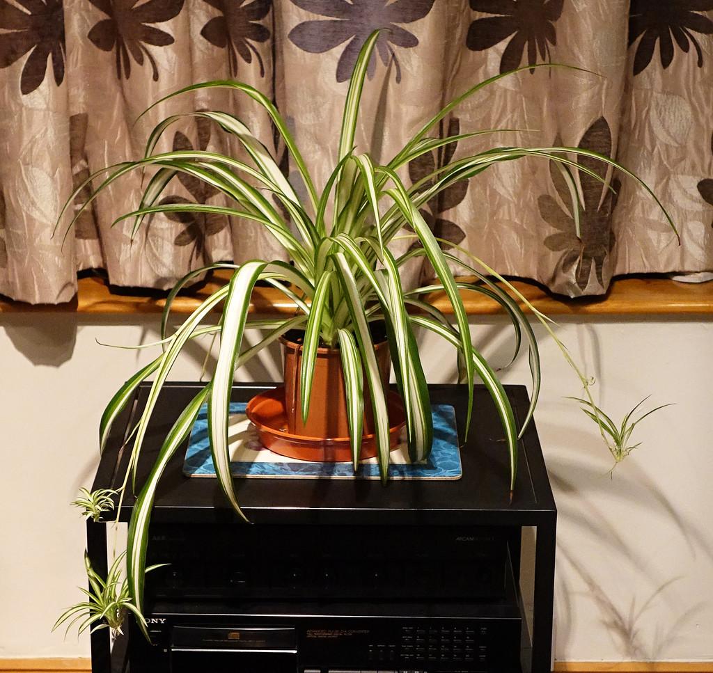 Spider plant by neiljforsyth