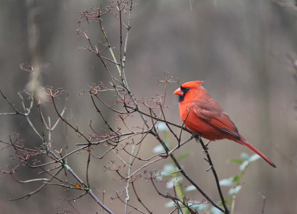 The Beautiful Cardinal by essiesue