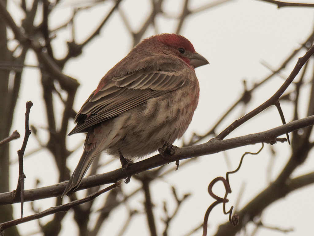 house finch profile by rminer