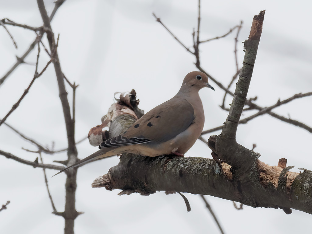 mourning dove on birch by rminer