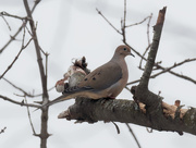 12th Feb 2020 - mourning dove on birch